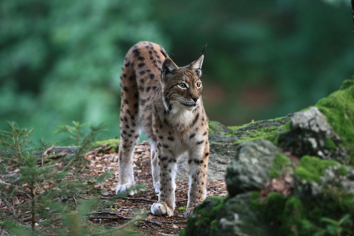 Mavrovo National Park is the last known area, in which the critically endangered Balkan Lynx is still reproducing. Photo: Jörg Pukownik