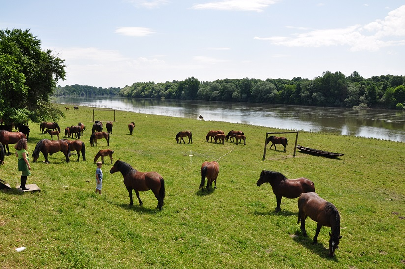 Posavina horses in their natural habitat, the pastures along the Sava. Photo: Martin Schneider-Jacoby