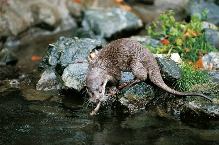 The European Otter (Lutra lutra) is an internationally protected species. Photo: Wolfgang A. Bajohr