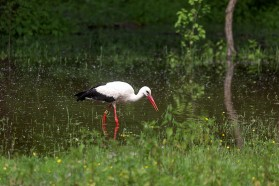 The alluvial forests in the Lonjsko Polje Nature Park is known as stork paradise.