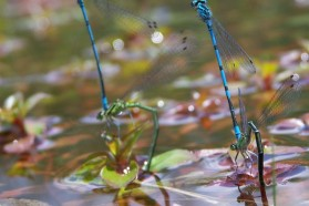 Dragonflies laying eggs. Participants to the Vjosa field camp identified 18 species of dragonflies. Their key habitats were small tributaries of the Vjosa River, especially those with well-preserved riparian vegetation.