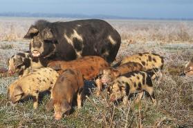 Typical and very rare domestic animal breed, the Turopolje pig, feeding on floodplain pastures along the Sava.