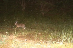 Hare captured by camera trap