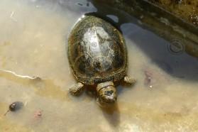 European pond turtle (Emys orbicularis) - near-threatened according to IUCN.