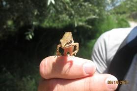 Greek Stream Frog (Rana graeca) – typical to clean waters rich in oxygen.
